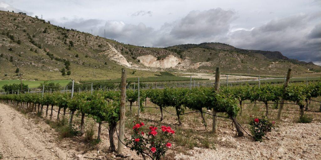 Vinplante på en typisk spansk vingård